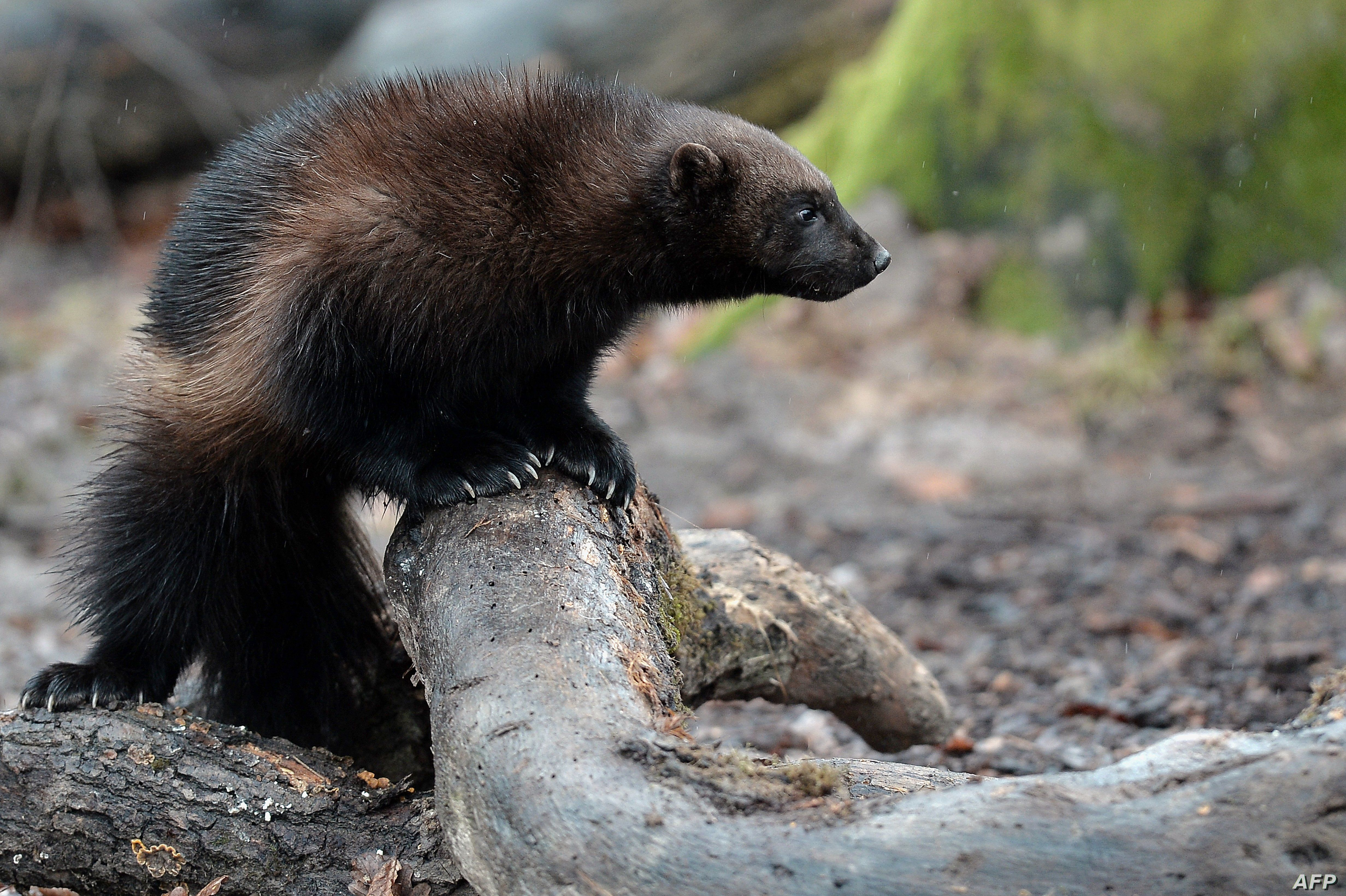 FILE - A wolverine makes its first public appearance at the Animal Park of Sainte-Croix in Rhodes, eastern France, Jan. 28, 2016.
