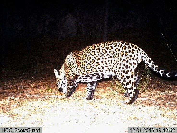 FILE - This Dec. 1, 2016 file still image from video provided by Fort Huachuca shows a wild jaguar in southern Arizona. A team…