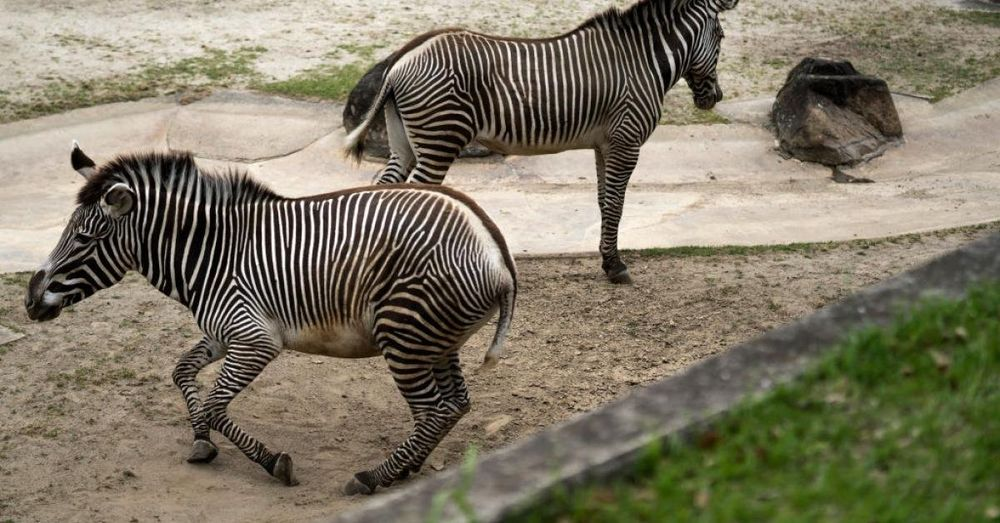 Missing Maryland zebra found dead in illegal snare trap, owner charged with animal cruelty