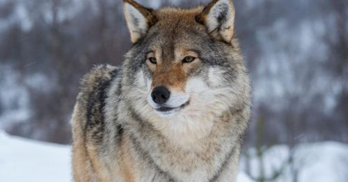 Wisconsin tribes sue to stop wolf hunt, claim it violates treaties