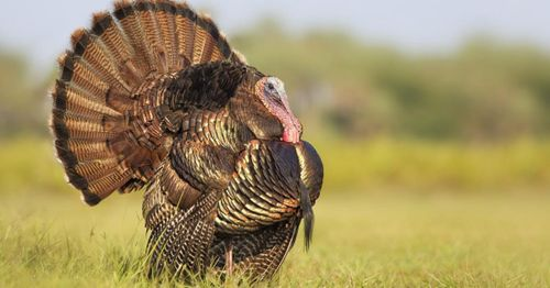 Turkey farmers warn that labor shortages could lead to Thanksgiving woes
