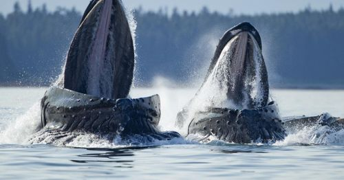 Massachusetts diver swallowed, spit out by humpback whale